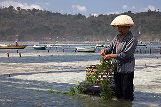 Algaculture - A seaweed farmer in Nusa Lembongan gathers edible seaweed that has grown on a rope.