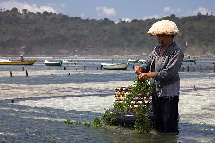Indonesian man farming seaweed in Bali