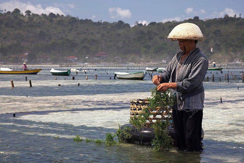 Seaweed farming -Nusa Lembongan, Bali-16Aug2009 edit
