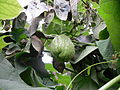 Sechium edule Chayote on the vine.jpg