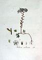 Sedum album — Flora Batava — Volume v3.jpg
