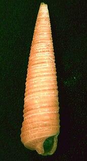 <i>Seila</i> genus of molluscs