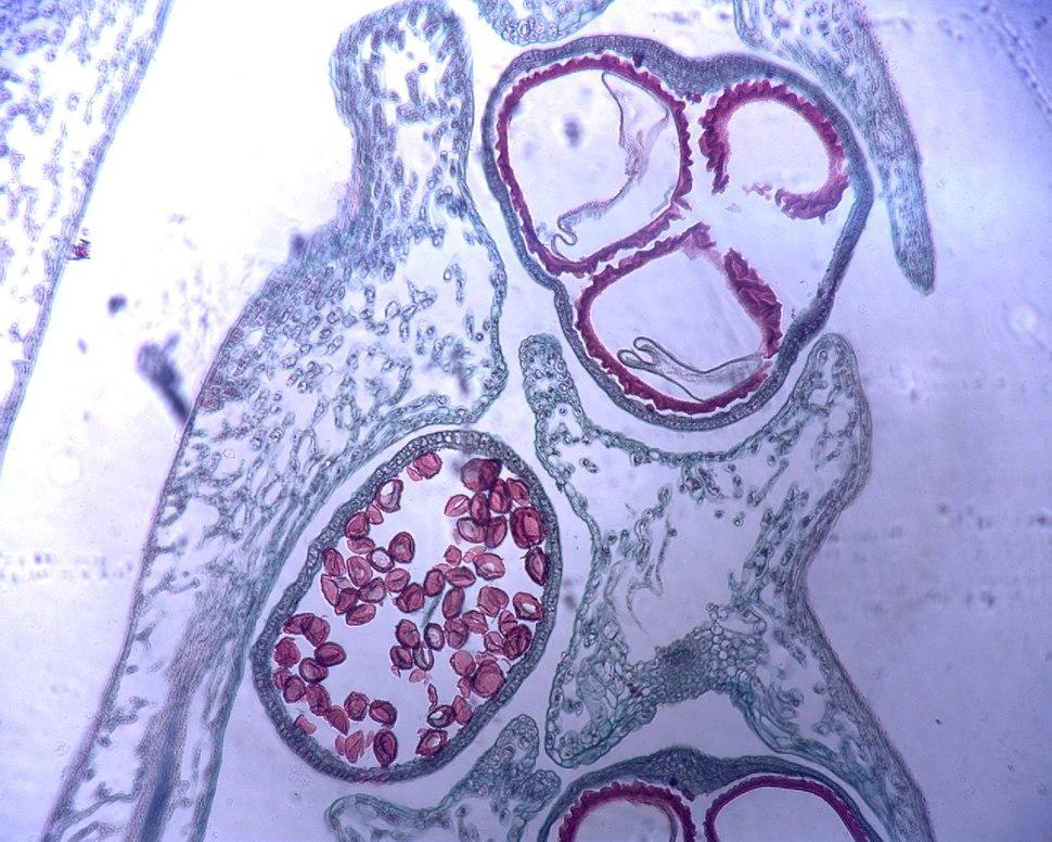 Selaginella heterospores.jpeg