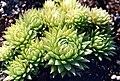 Sempervivum muralis 2.jpg