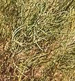 Senna artemisoides ssp filifolia foliage.jpg