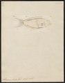Serranus louti - 1798-1876 - Print - Iconographia Zoologica - Special Collections University of Amsterdam - UBA01 IZ12900151.tif