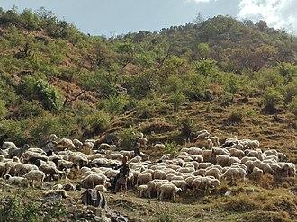 Rukum District - Sheep rearing by a shepherd in Kankri village of Rukum district in Nepal.