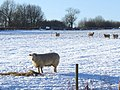 Sheep on Huggate Wold - geograph.org.uk - 1264769.jpg
