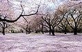 Shinjuku Gyoen National Garden - sakura 10.jpg