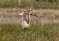 Short-eared Owl - Ruh-red Road - 3.jpg