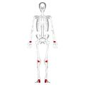 Short bones - anterior view.png
