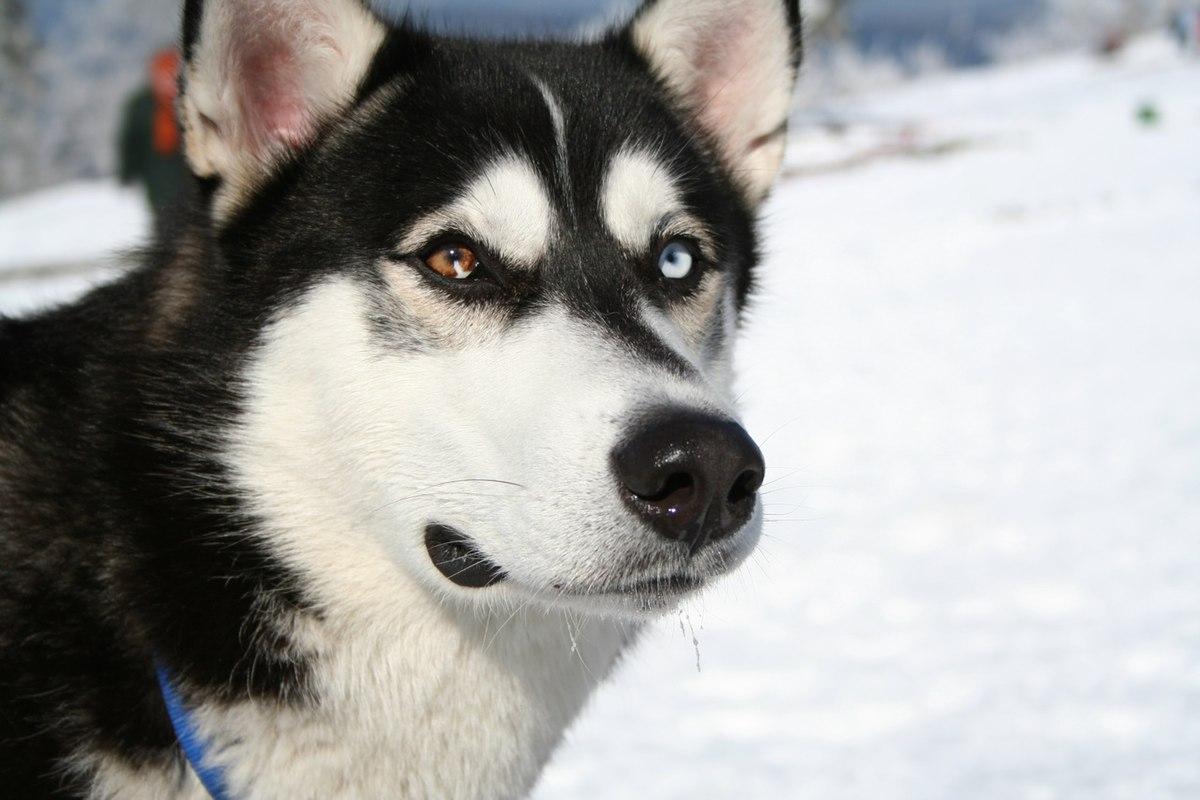 Siberian Husky bi-eyed Flickr.jpg