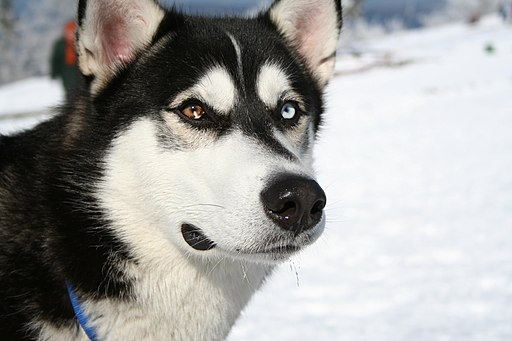 Siberian Husky bi-eyed Flickr
