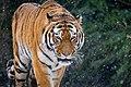 Siberian Tiger (25107706438).jpg