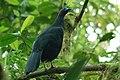 Sickle-winged Guan 2015-06-05 (8) (26438398028).jpg