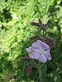 Silene latifolia f. incarnata.jpg