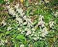 Silene latifolia in Aveyron 05.jpg