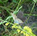 Silver-studded Blue.Plebejus argus,^ Female - Flickr - gailhampshire.jpg