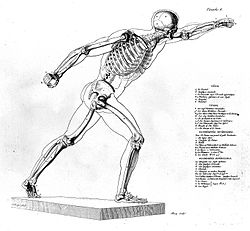 Skeleton and muscles. Wellcome L0010767.jpg