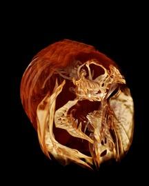 Skelett eines Zebrafischs.tif