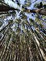 Sky through pines.jpg