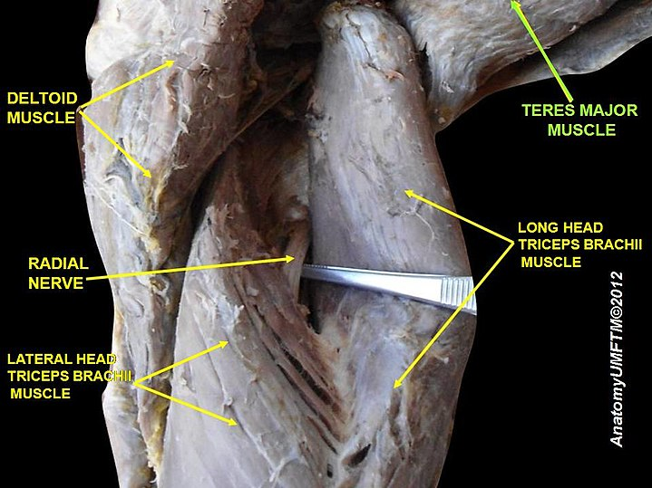 Teres Major Muscle Eanswers