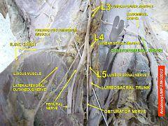 Sural communicating branch of common fibular nerve ...