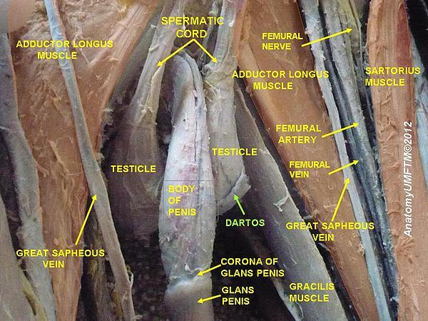 what is shaft of penis