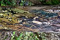 Slime mould on old willow bark (32575036262).jpg