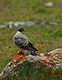 Snow Pigeon (Columba leuconota) (23007355926).jpg