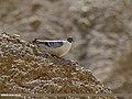 Snow Pigeon (Columba leuconota) (28087777310).jpg