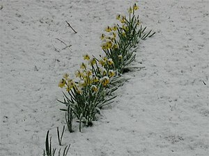 English: Snow covered spring flowers