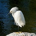 Snowy Egret (48028044306).jpg