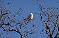 Snowy Owl New Bothwell.jpg