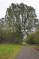Sodeiche im Forst Rundshorn IMG 1432.jpg