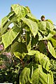 Solanum betaceum 3zz.jpg
