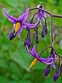 Solanum dulcamara 0002.JPG