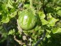 Solanum sodomeum.JPG