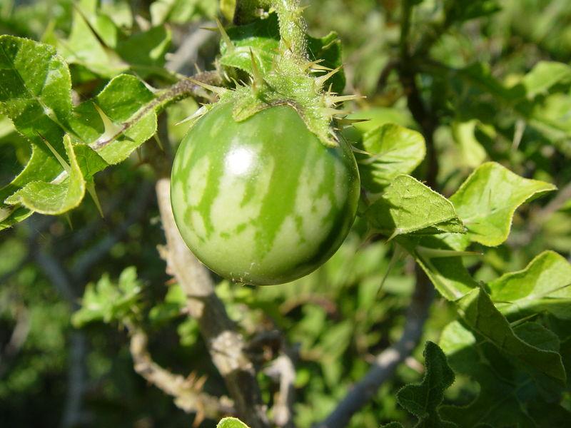 Keskon mange ? - Page 5 800px-Solanum_sodomeum