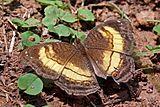 Soldier commodore (Junonia terea teroides).jpg
