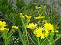 Sonchus canariensis - University of California Botanical Garden - DSC08927.JPG