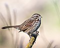 Song Sparrow (38532686316).jpg