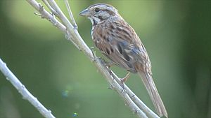 Mating call - Song sparrow