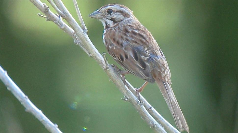 Song Sparrow (8381415679)