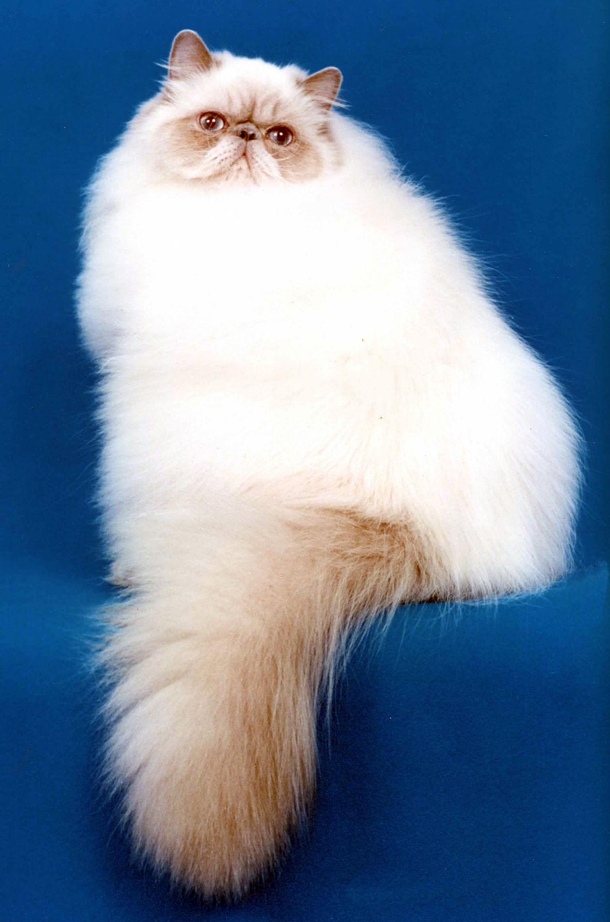 Kucing Himalaya Wikipedia Bahasa Melayu Ensiklopedia Bebas