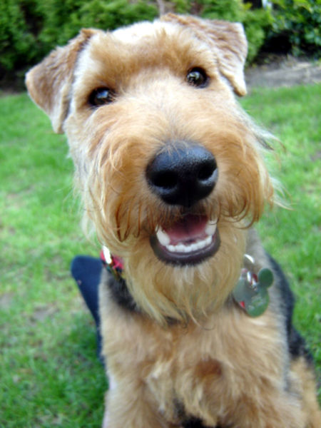 El terrier galés está en la lista de razas en peligro de extinción del Kennel Club del Reino Unido