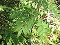 Sorbus americana 1-eheep (5098077762).jpg