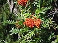 Sorbus scopulina (5066417808).jpg