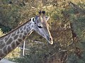 South African Giraffe 12.jpg