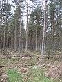 South Wood, Meikleour - geograph.org.uk - 360648.jpg